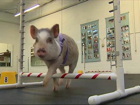 小豬去上狗狗訓練班,結果把她的狗狗同學都打敗了!