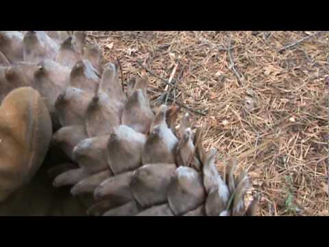 Giant Pine Cones  in California 1a - MyEyes2You