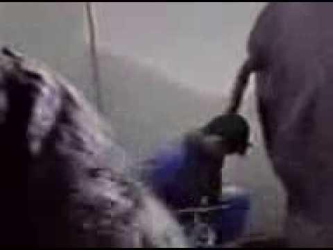«Accident» insolite en nettoyant la cage d'un éléphant :) …
