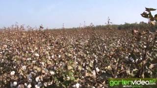 #896 Baumwollpflanze - Anbau von Baumwolle in den USA