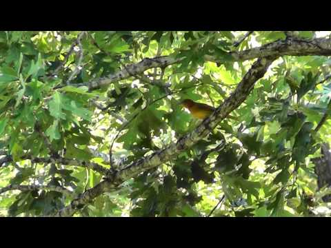 Tanager Range Summer Tanager Range Map