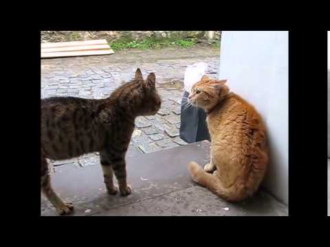 Cats meowing very loudly  ( Very Angry Cats )