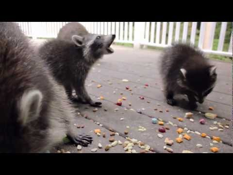 Baby garage raccoons come over for a visit