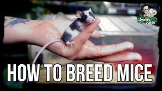 HOW TO BREED MICE by Jossers Jungle