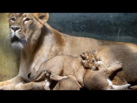 Γερμανία: Λιοντάρια και τίγρεις διέφυγαν από ζωολογικό κήπο…