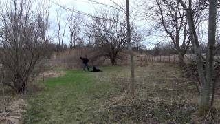 Training a Labradoodle Off Leash