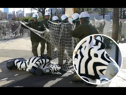 Watch This Tokyo Zoo Hold an Emergency Zebra Escape Drill