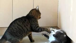 Download Lagu cat wars 2 pepe paws vs shananigans Mp3