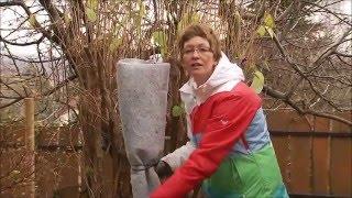 Magastörzsű rózsa téli védelme és teleltetése - Kertbarátok - Kertészeti TV - műsor