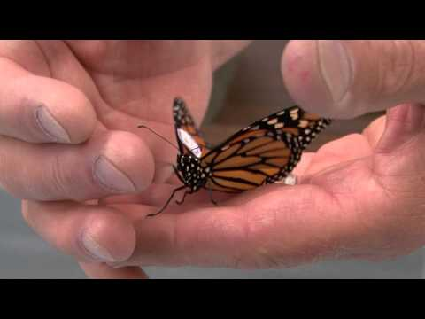 WSU Monarch Butterfly Project