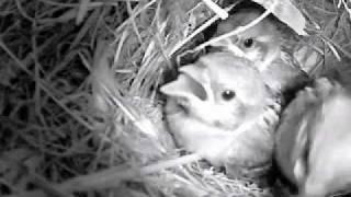 Matsumae Japan  city photo : Sparrow's nest, Matsumae, Japan, Part 61 スズメの巣作りと子育て 北海道松前町