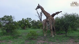 A pair of giraffe bulls play fighting, or necking, as practice for real battles later in life!Filmed at Idube Game Reserve in the Sabi Sand Wildtuin, Greater Kruger National Park, South Africa (http://www.idube.com/static)Filmed in 4K UHD resolution using the Sony AX100 video cameraSubscribe for more great wildlife clips: http://goo.gl/VdOHuSFollow #nowfilming on social networks for LIVE photo updatesROB THE RANGER WILDLIFE VIDEOS on Social Networks:TWITTER: http://goo.gl/U8IQGfBLOG: http://goo.gl/yJJ3pTFACEBOOK: http://goo.gl/M8pnJhGOOGLE+: http://gplus.to/robtherangerTUMBLR: http://goo.gl/qF6sNS#YouTubeZA#YouTubeSSA#SAYouTubers