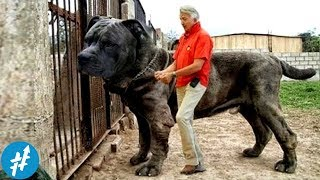 Video 10 Anjing Penjaga TERBESAR Di Dunia, Ngeliat Ukurannya Bikin PENJAHAT Keder Duluan MP3, 3GP, MP4, WEBM, AVI, FLV Februari 2018