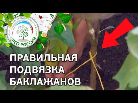Как правильно подвязать баклажаны. Выращивание баклажанов.