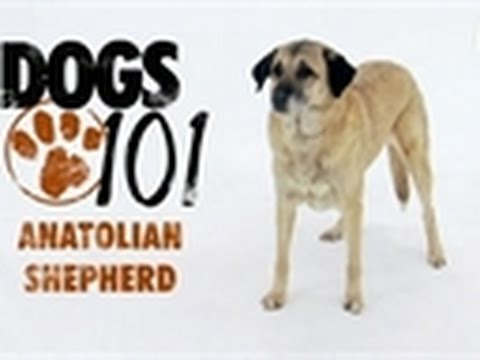 Turkish sheperd dog - For more, visit http://animal.discovery.com/tv/dogs-101/#mkcpgn=ytapl1 | The Anatolian Shepherd is one of the worlds largest and most imposing dogs.