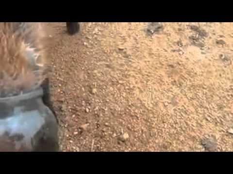 russia-il-salvataggio-del-cucciolo-di-volpe-con-la-testa-nel-barattolo-181