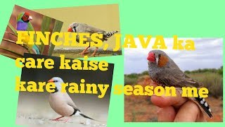 RAINY SEASON ME FINCHES, JAVA Ki CARE KAISE KARE