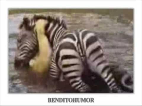 Cebra vs. León