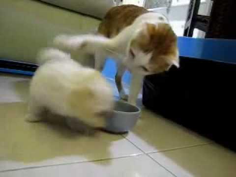 超可愛小狗咬貓咪的耳朵