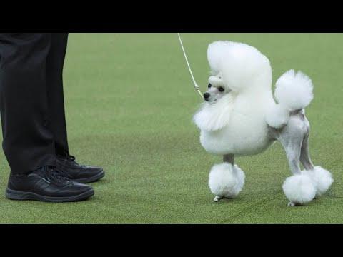 Weltbekannte Hundeausstellung: Seit 1877 geht es ums  ...