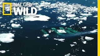 One Seal Tries to Survive an Orca Hunt | Nat Geo Wild by Nat Geo WILD