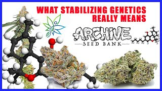 HOW TO STABILIZE GENETICS w/ Archive Seed Bank by The Cannabis Connoisseur Connection 420