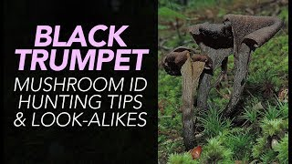 The Black Trumpet (Craterellus fallax) is a choice edible mushroom found throughout the summer months in Eastern North...