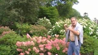 #147 Hydrangea Vanille-Fraise - auf der Suche nach den besten Rispenhortensien