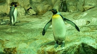 Funny Penguin fear to diving in Water.Cute King Penguins Video.Penguins Videos