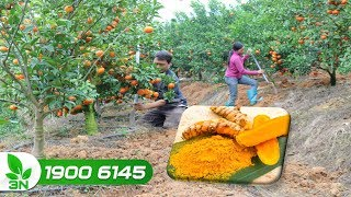 Cách ủ bã củ nghệ làm phân bón cho cây trồng