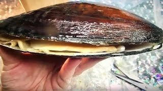 Video REAL LIVE OYSTER WITH PEARLS OPENS UP..NEVER GOT THE PEARLS MP3, 3GP, MP4, WEBM, AVI, FLV September 2018