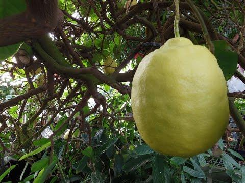 citrus limon – caratteristiche