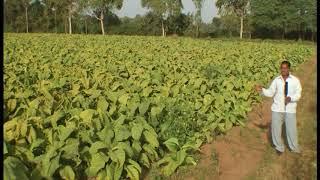 Tobacco Farmer (BioAll)