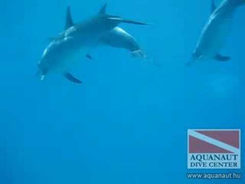 Delfinek a Vörös tengeren