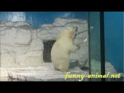 naughty-polar-bear-having-fun-with-hula