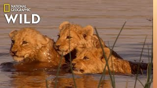Lion Family Tries to Cross River | Birth of a Pride by Nat Geo WILD
