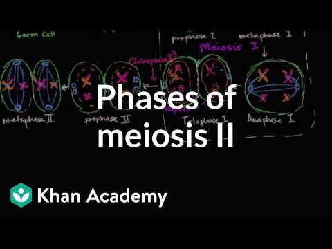 Phases Of Meiosis Ii Video Meiosis Khan Academy