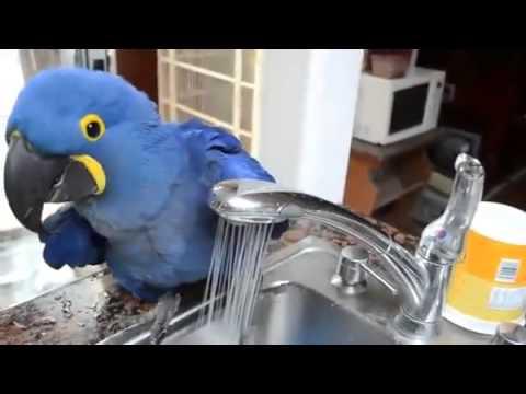un pappagallo che ama l'acqua