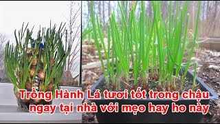 Trồng Hành Lá tươi tốt trong chậu ngay tại nhà với mẹo hay ho này trồng hành lá, trồng hành hoa, cách trồng hành lá, mẹo trồng hành lá, hành lá, chậu hành lá...