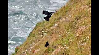 A video of the pair of Cornish Choughs on the North Cornwall Coast.