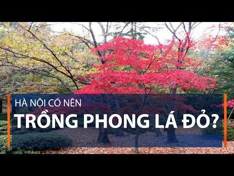 Hà Nội có nên trồng phong lá đỏ? | VTC1 - Thời lượng: 3 phút, 19 giây.