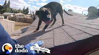 Pittie Found on Roof is So Happy to See Rescuers | The Dodo Pittie Nation by The Dodo