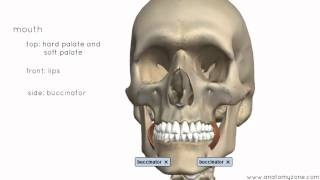 Introduction To The Digestive System Part 1 - Mouth And Pharynx - 3D Anatomy Tutorial