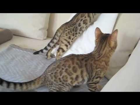 Bengalen - Die ersten Bilder und Aktivitäten unserer Bengalkatzen Tammy und Jolly.15 Wochen alt. The first Day at home.