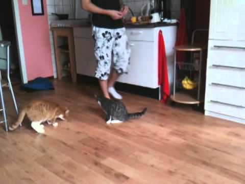 cat tricks by trained cat