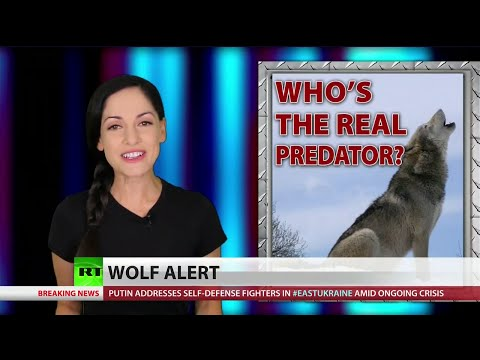 'It's - The US Fish and Wildlife Service has a new plan to reintroduce the gray wolf back into the American southwest, over a vast swath of land - land where humans now rule, thanks to the government's...