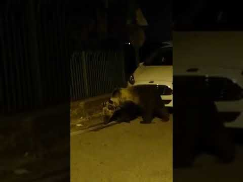 Civitella Alfedena, orso passeggia per strada e ruba le pere VIDEO