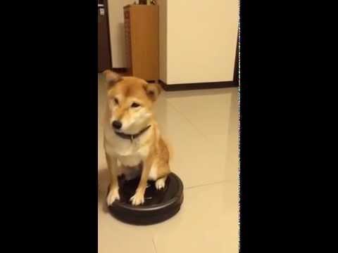 柴犬第一次看到掃地機器人就一屁股坐上去,接著啟動後…大家都對著螢幕笑噴!