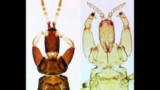 Thysanoptera: a vida de um pesquisador - Laurence Mound - CSIRO