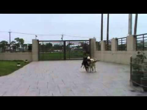 超強3隻狗狗咬棍齊步走!!太可愛了啦!!